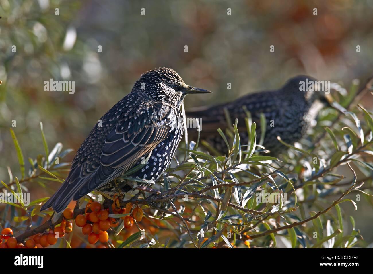 Common Starling - Starling adults in basic plumage / Sturnus vulgaris  -  Hippophae rhamnoides Stock Photo