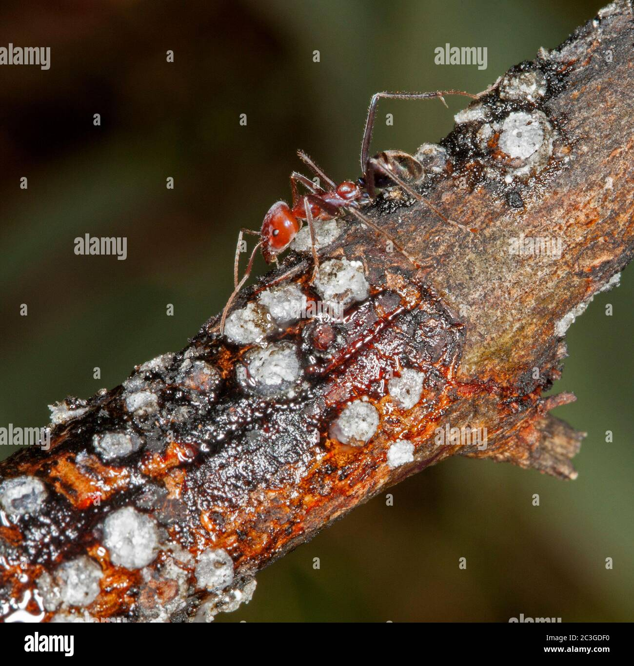 Large red and black ants feeding on scale insects on branch of shrub against dark green background Stock Photo