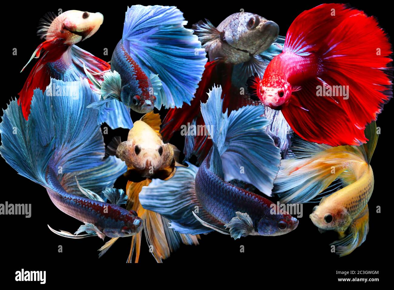 Colourful Betta Fish Siamese Fighting Fish In Movement Isolated On Black Background Stock Photo Alamy