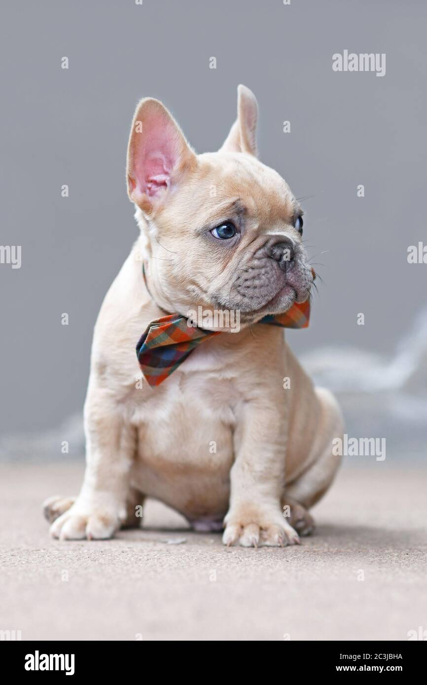 7 Weeks Old Lilac Fawn Colored French Bulldog Dog Puppy Wearing A Bow Tie Sitting In Front Of Gray Wall Stock Photo Alamy