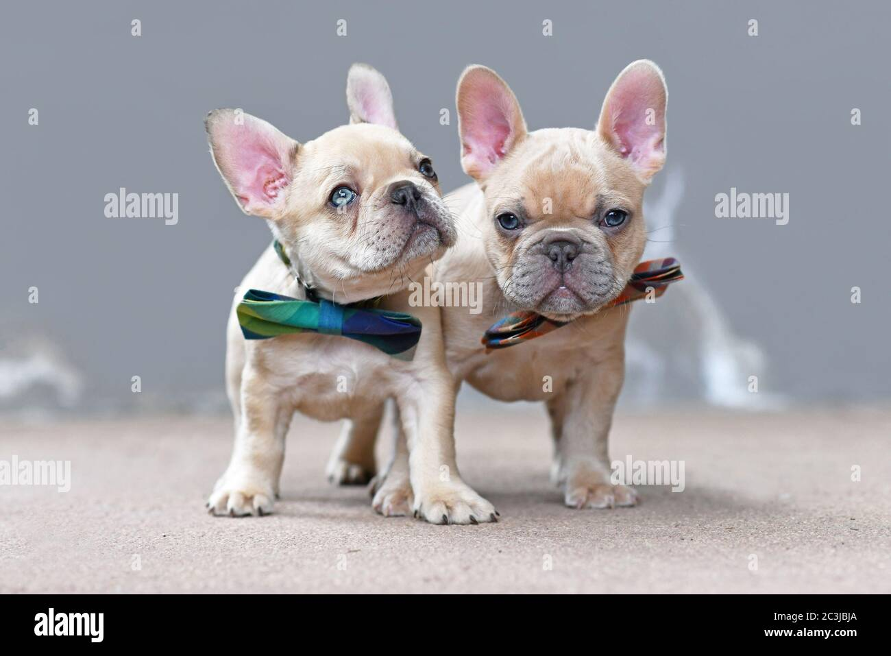 Two Cute Lilac Fawn Colored French Bulldog Dog Puppies Wearing Bow Ties Standing Together In Front Of Gray Wall Stock Photo Alamy