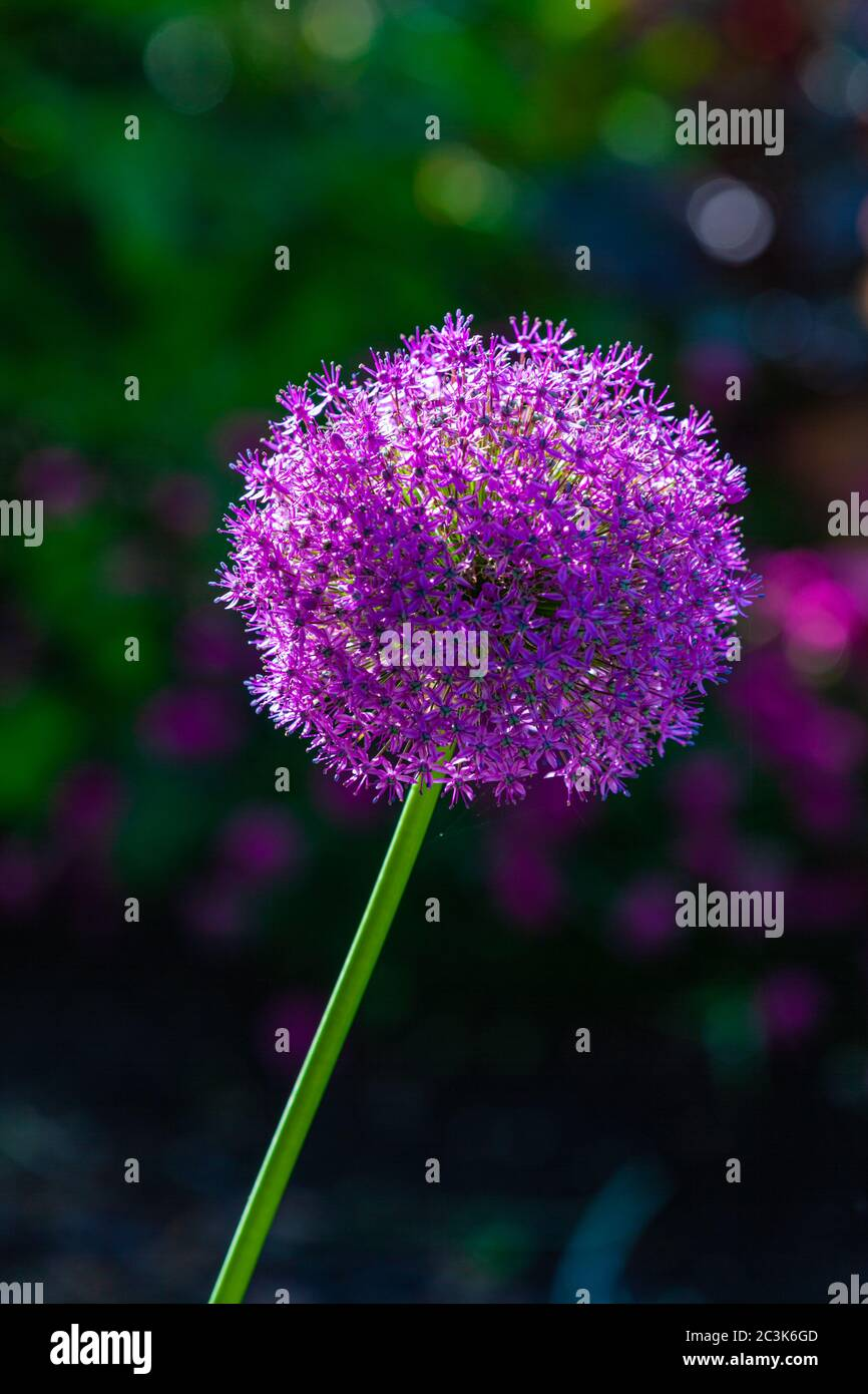 Purple ball bloom of an Allium plant in a western Canadian garden Stock Photo