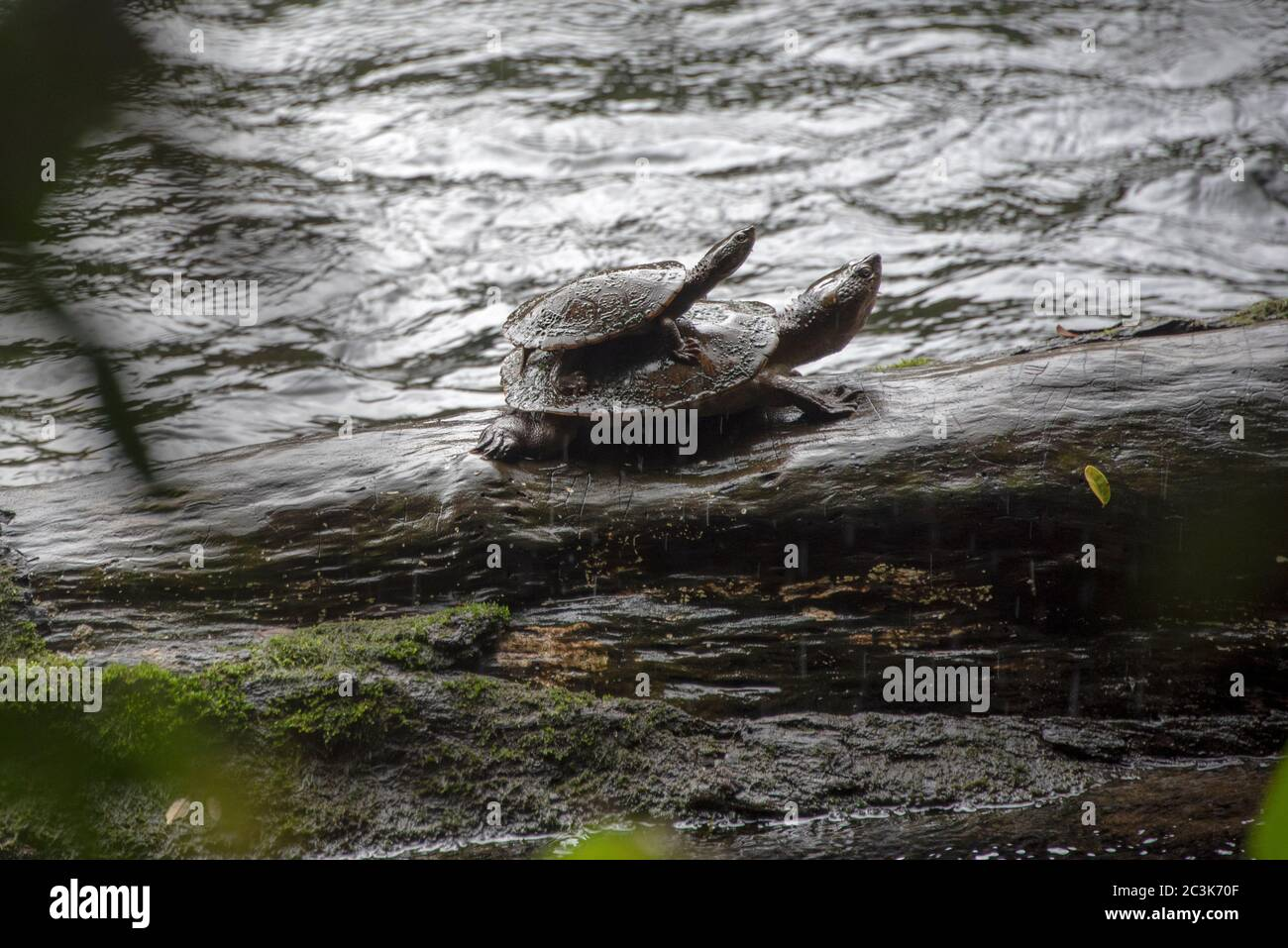 Saw-shelled turtle with baby hitching a ride on mother's back. Far North Queensland, Australia. Stock Photo