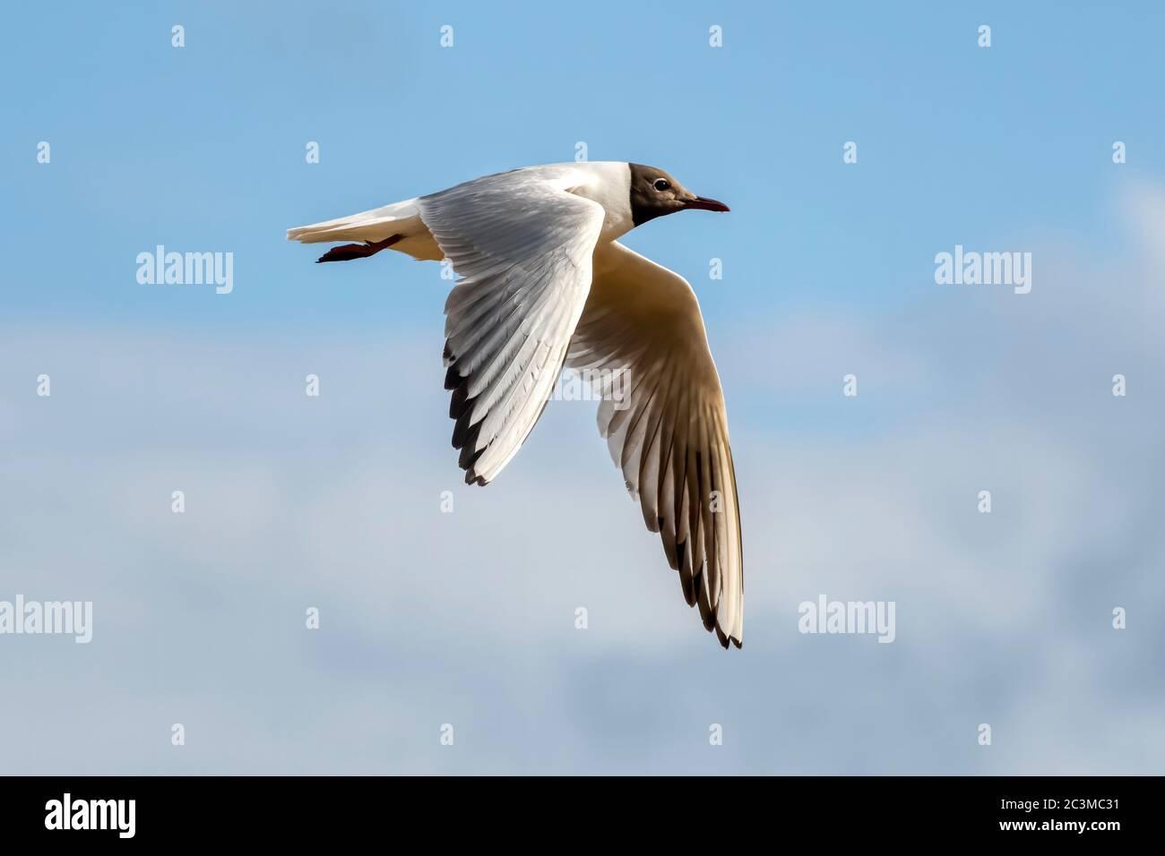 Flying black headed gull, Chroicocephalus ridibundus, in spring & summer plumage. Stock Photo