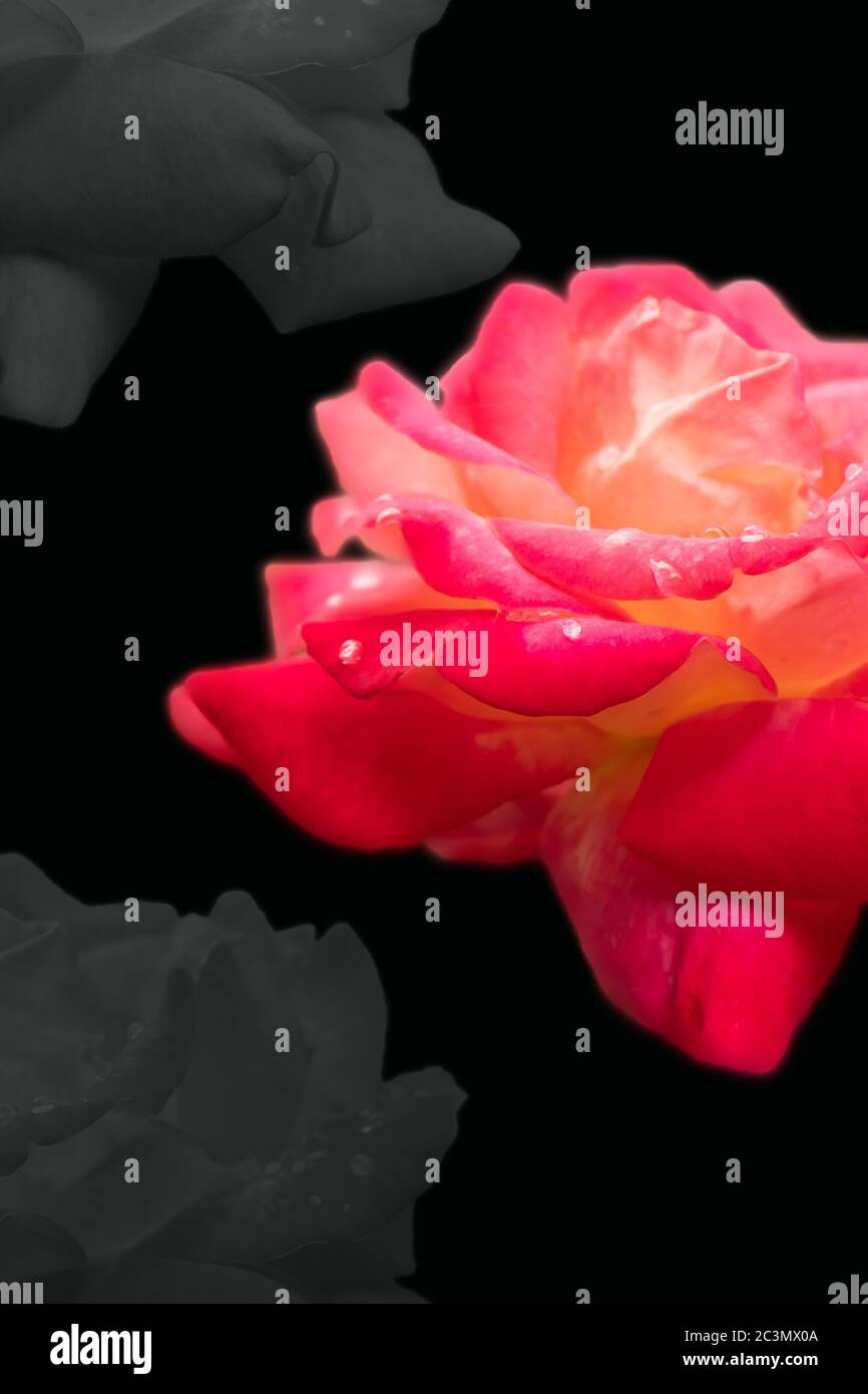 Pink Rose With Black Background High Resolution Stock Photography And Images Alamy