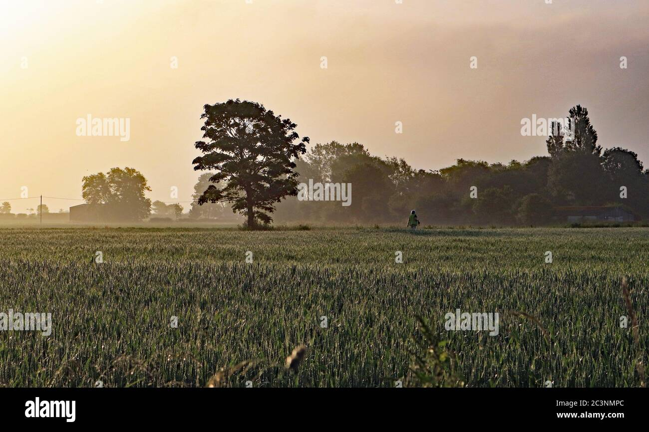 Early morning walker on Martin Mere. A lone dog walker crosses a field of wheat not long after dawn on a hazy sunny morning near Burscough. Stock Photo