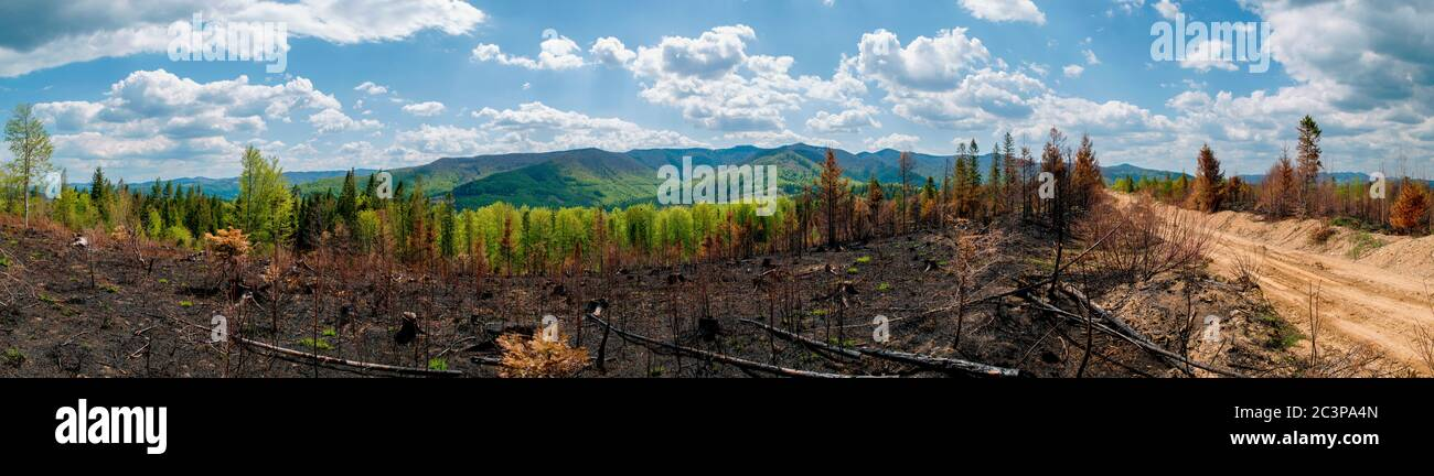 Spruce forest and trees after the fire, panorama. Spring season in the mountains. Environmental disaster Stock Photo