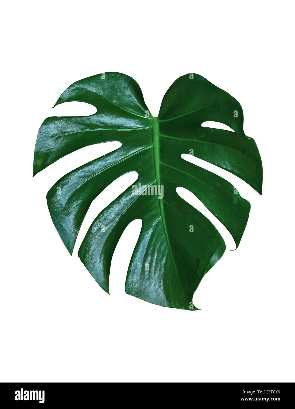 Dark Green Leaves Of Monstera Or Split Leaf Philodendron Monstera Deliciosa The Tropical Foliage Houseplant Isolated On White Background Clipping P Stock Photo Alamy