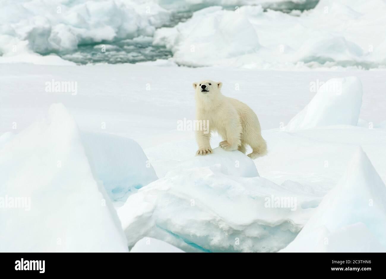 polar bear (Ursus maritimus), climbing on pack-ice, front view, Norway, Svalbard Stock Photo