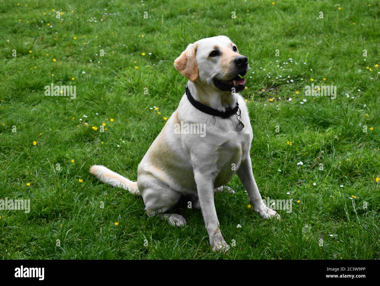 Golden Labrador Sitting In Field Whilst Listening To Instructions During Training Exercise Stock Photo Alamy