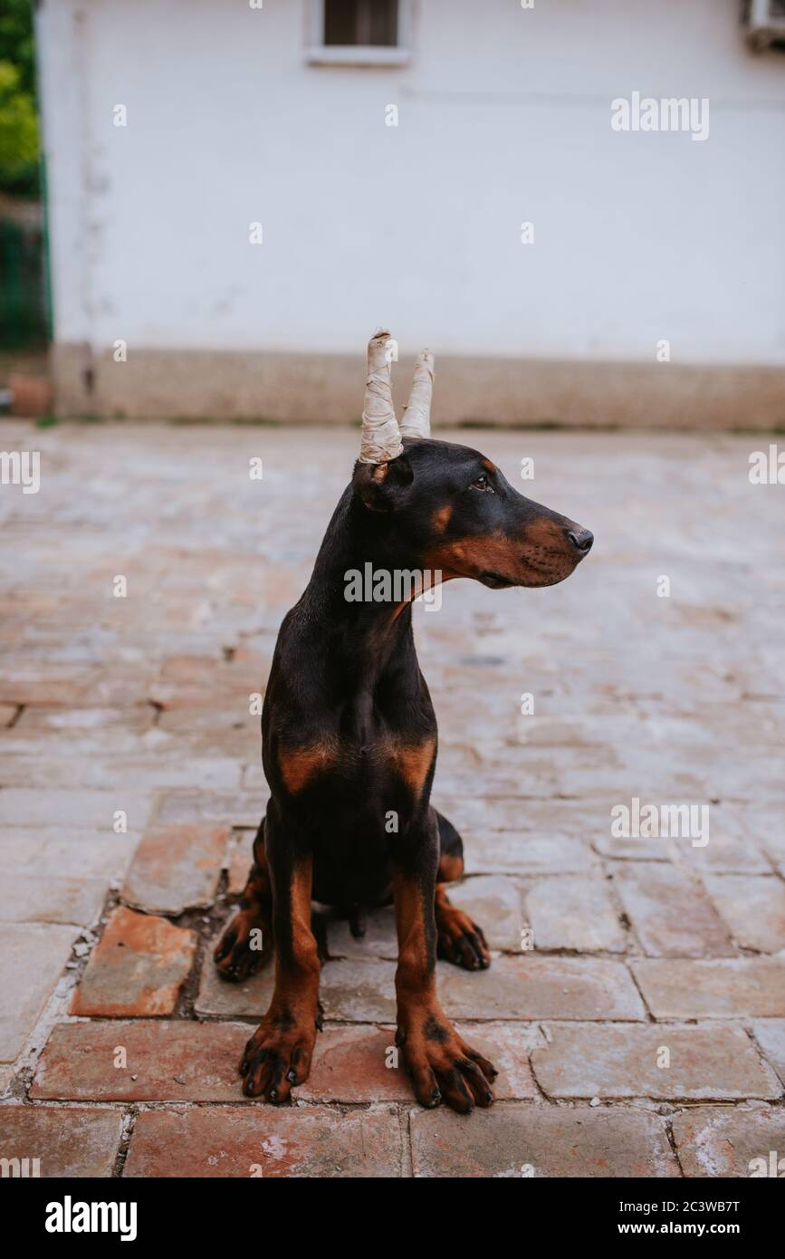 Doberman Face High Resolution Stock Photography And Images Alamy