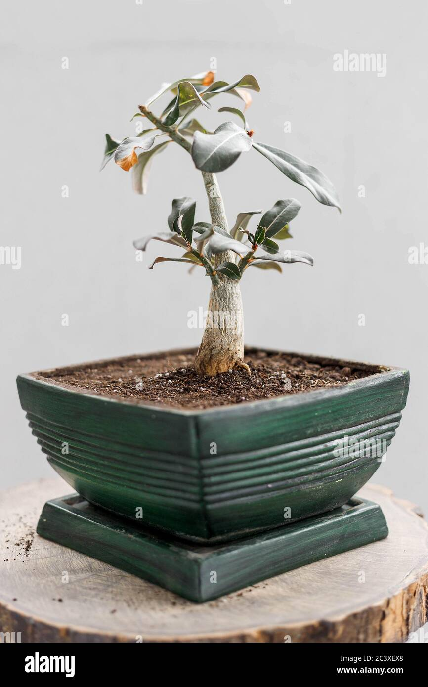 Repotted Adenium Obesum In Green Flower Pot For Bonsai Design Concept Little Desert Rose Plant Repotting Stock Photo Alamy