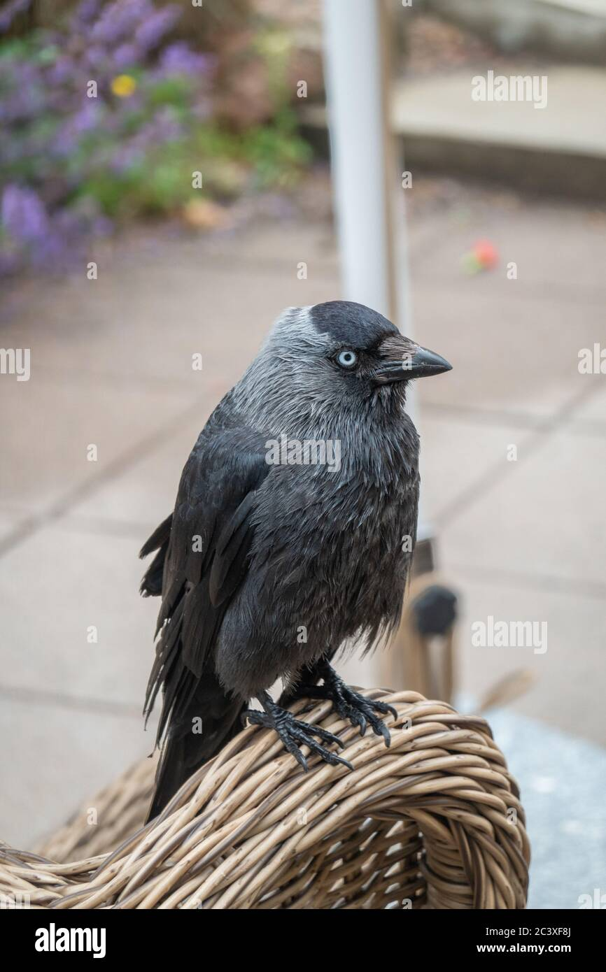 Jackdaw sitting in a cafe Stock Photo