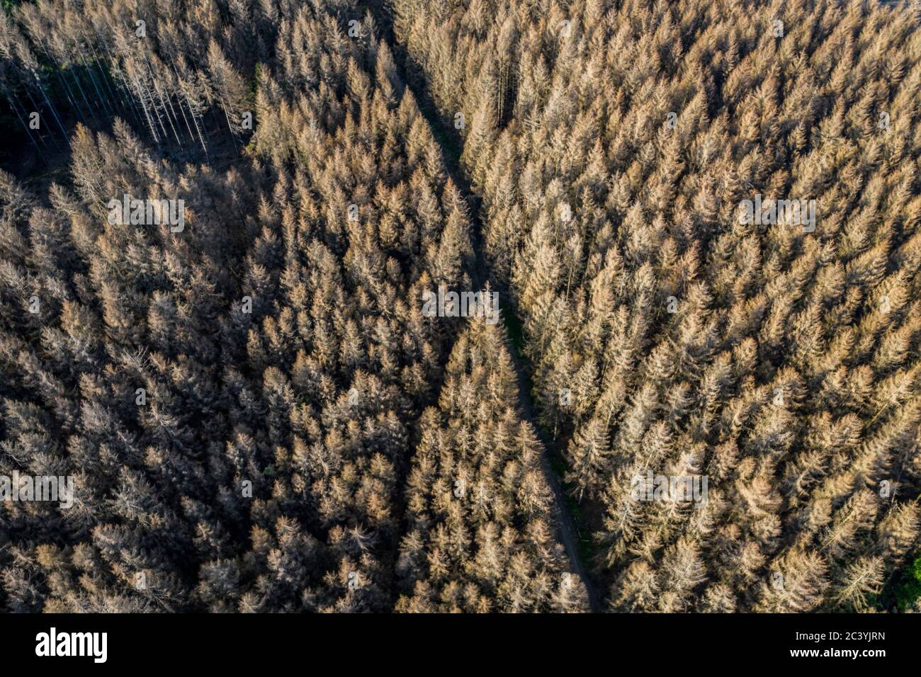 Forest dieback in the Arnsberg Forest Nature Park, more than 70 percent of the spruce trees are diseased, damaged, mostly by the bark beetle, which wa Stock Photo