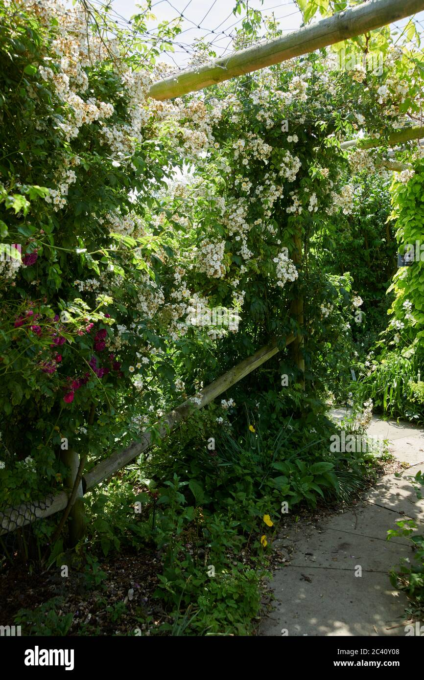 Climbing Rose's forming a wall in an English country garden, UK, GB. Stock Photo