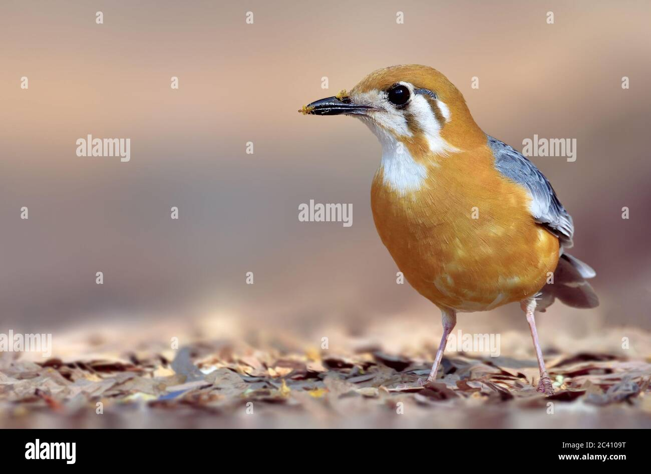 The orange-headed thrush is a bird in the thrush family. It is common in well-wooded areas of the Indian Subcontinent and Southeast Asia. Most populat Stock Photo