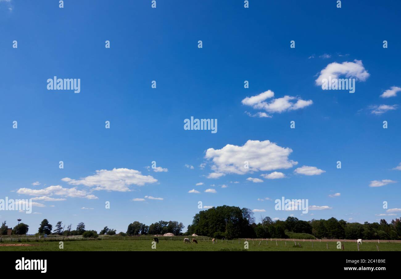 Blue sky with few white clouds over a green meadow with grazing cows and single trees, copy space Stock Photo