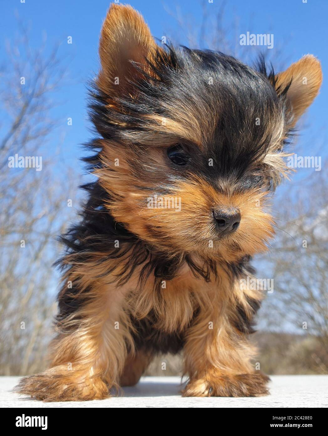 Closeup Of Playful Baby Yorkshire Terrier Puppy Outside Front Portrait And Detail Of Young And Cute Yorkie Pup Playing Outside With Blurred Backgrou Stock Photo Alamy
