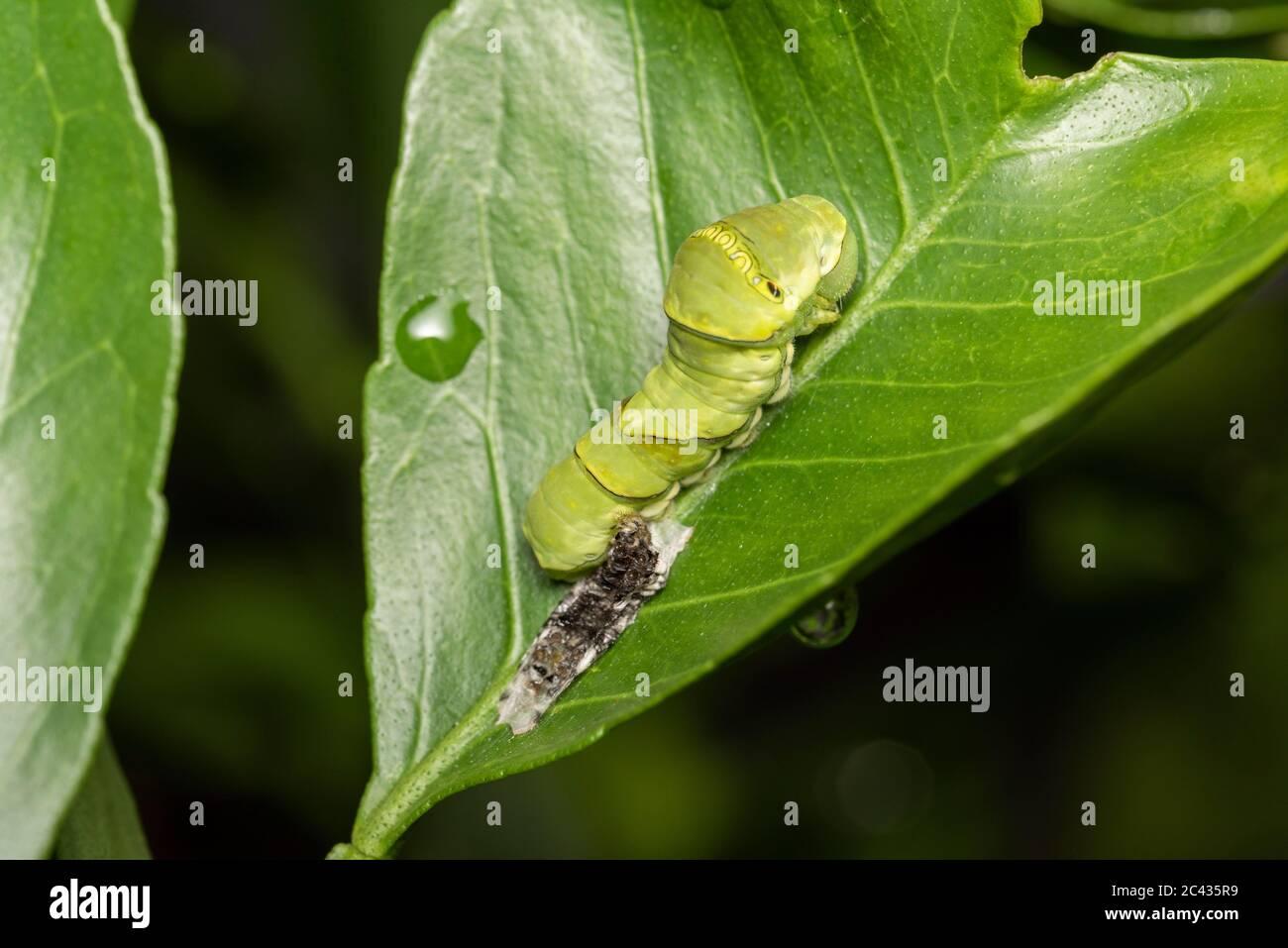 Larva of Asian swallowtail (Papilio xuthus) just molted, on Mikan orange tree, Isehara City, Kanagawa Prefecture ,Japan Stock Photo