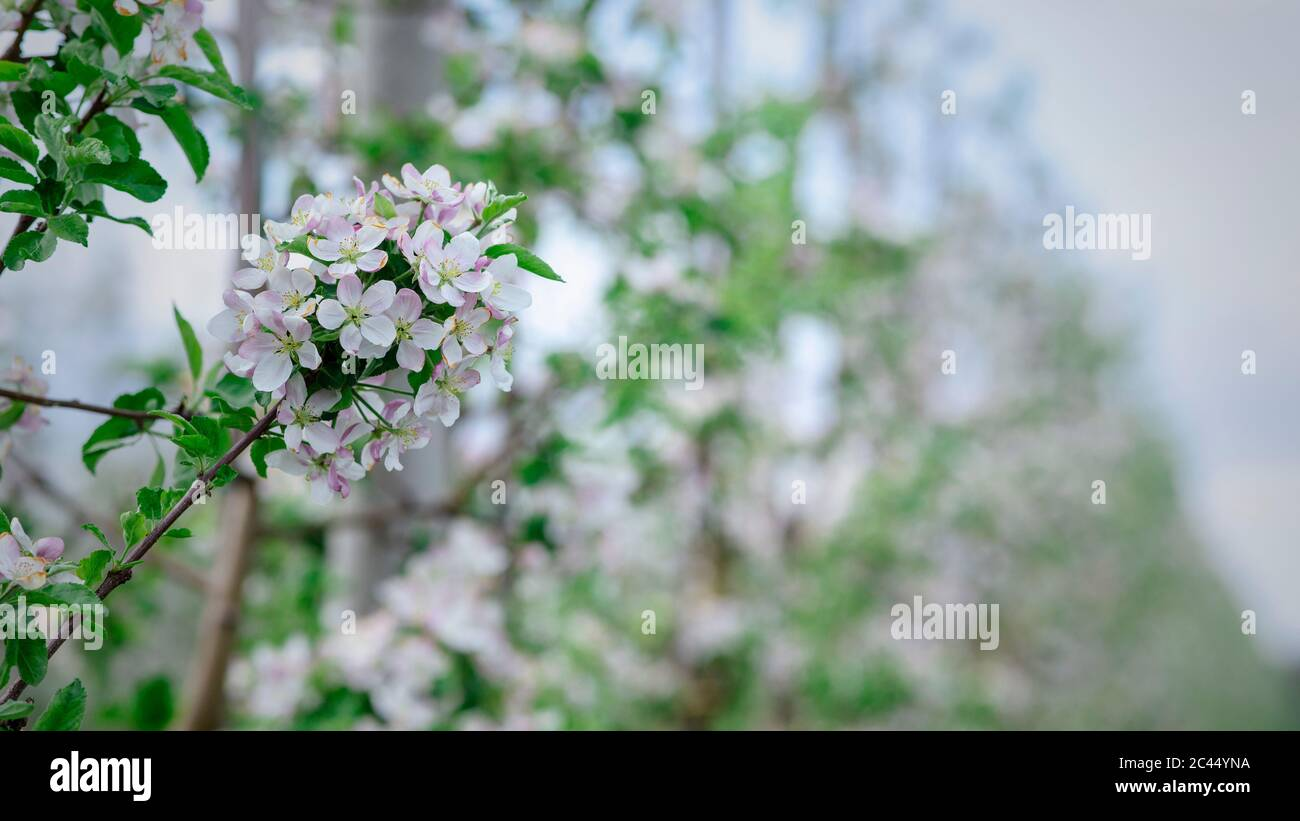 Spring inflorescences in garden close up. Apple tree branch with white flowers on blurred background Stock Photo