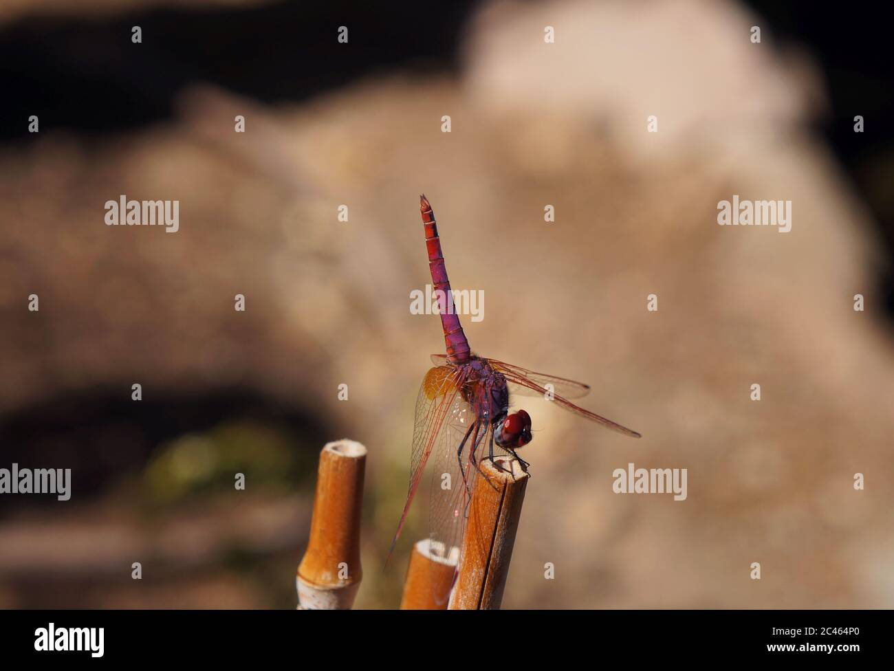 Red dragonfly Trithemis annulata male sitting on the bamboo, copyspace Stock Photo