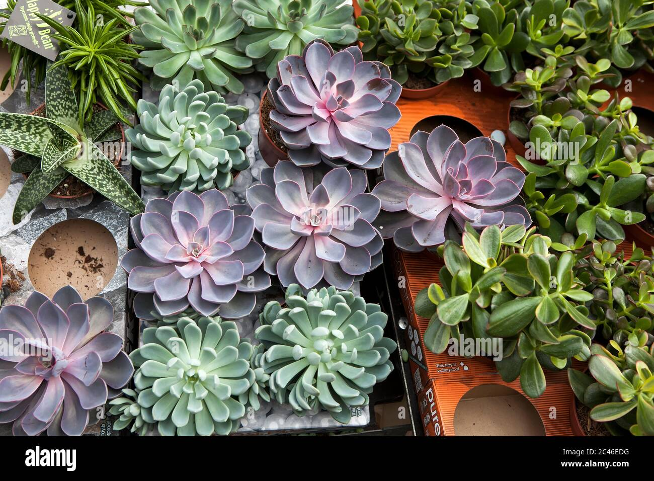 Types Of Succulents High Resolution Stock Photography And Images Alamy