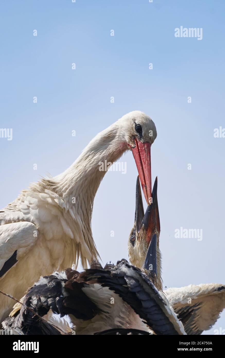 White stork (Ciconia ciconia) feeding its greedy young Stock Photo
