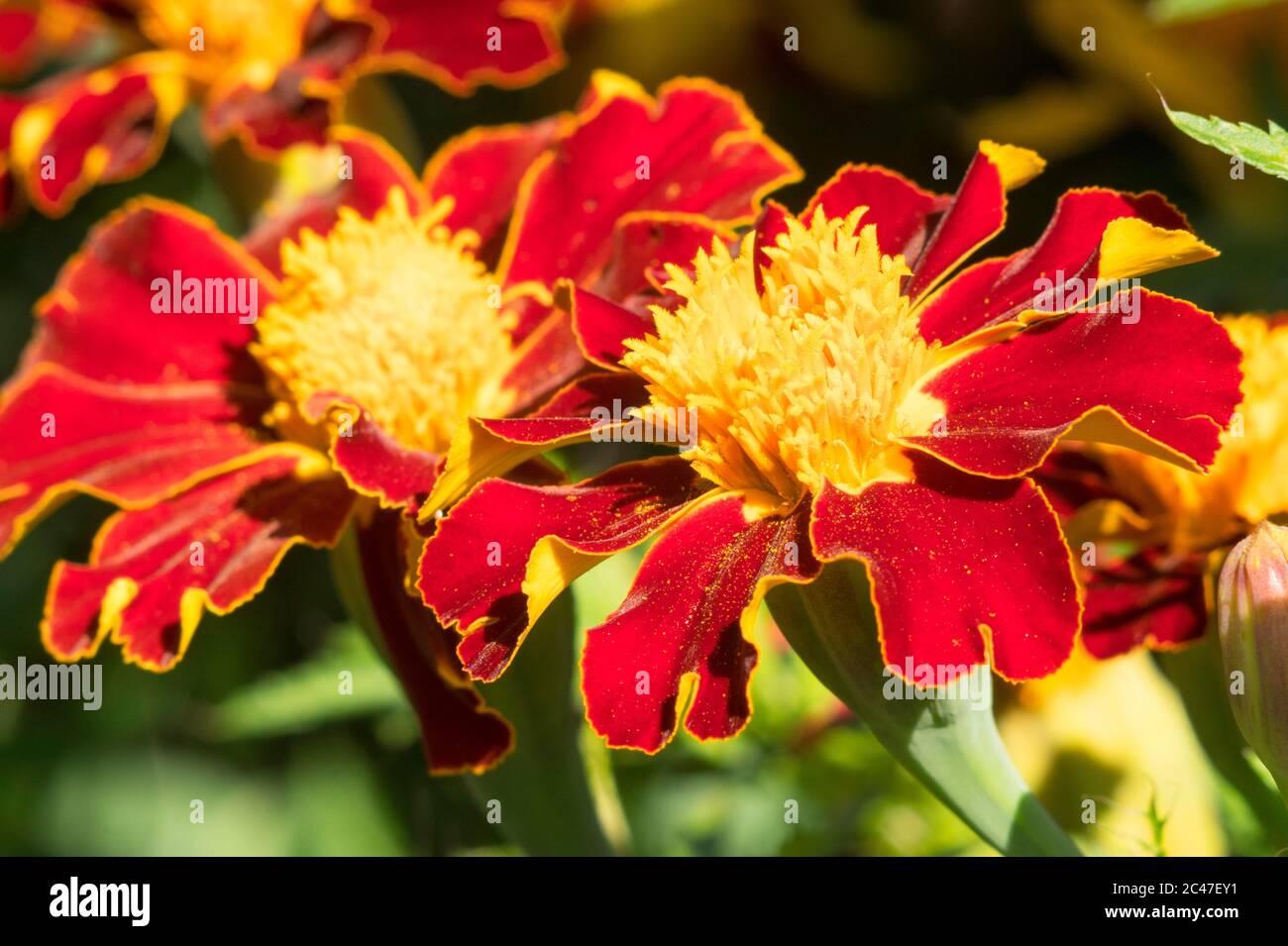 Close up of French Marigold (Tagetes patula) flowers, England, UK Stock Photo