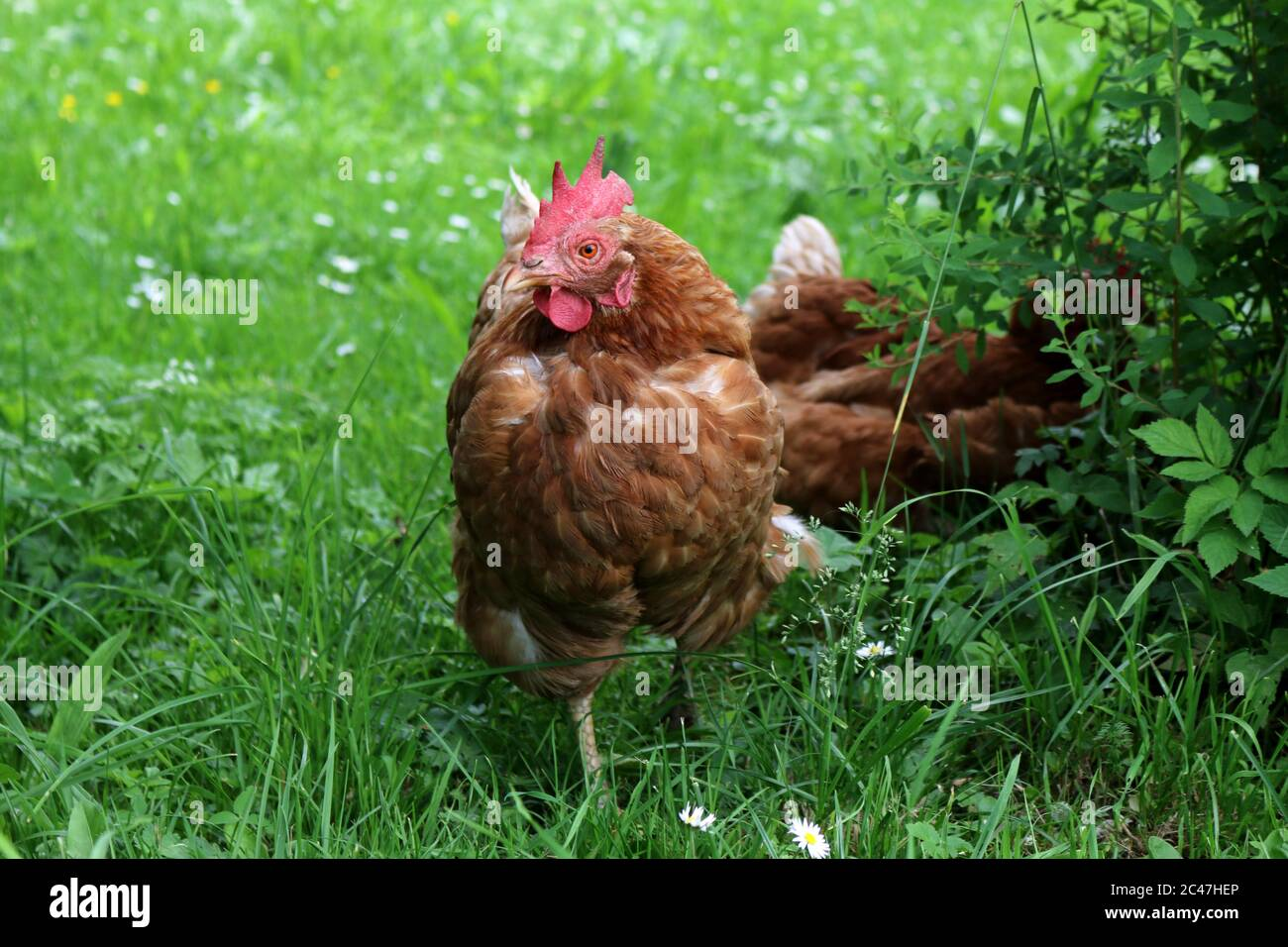 Poultry looking for food in a meadow Stock Photo