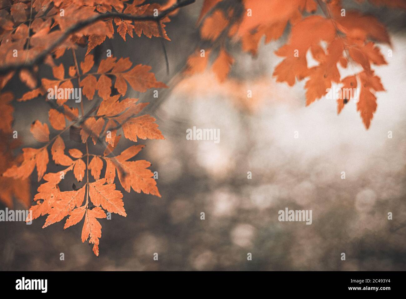 Beautiful Autumn Scene With Orange Leaves And Blurred Brown Branches Great Design For Social Media Seasonal Quotes Vintage Fall Wallpaper Natural Stock Photo Alamy