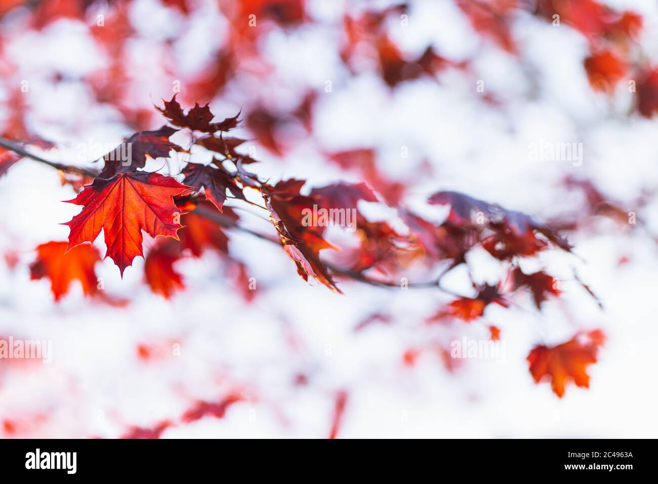 Beautiful branches of a Norway maple (Crimson King, Goldsworth Purple) with red leaves in sunlight.   Selective focus. Stock Photo