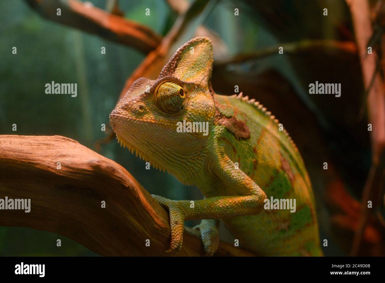 Veiled Chameleon Chamaeleo Calyptratus Sitting On A Branch Of A Tree In A Terrarium Of A Zoo Stock Photo Alamy