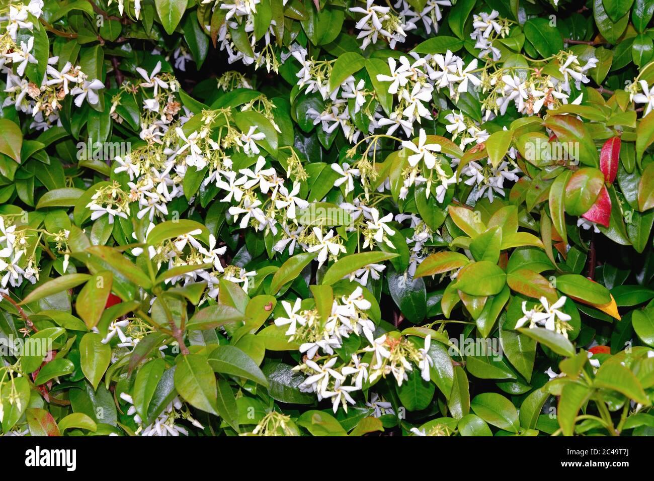 Close up of a flowering Star Jasmine, Trachelospermum jasminoides, shrub Stock Photo