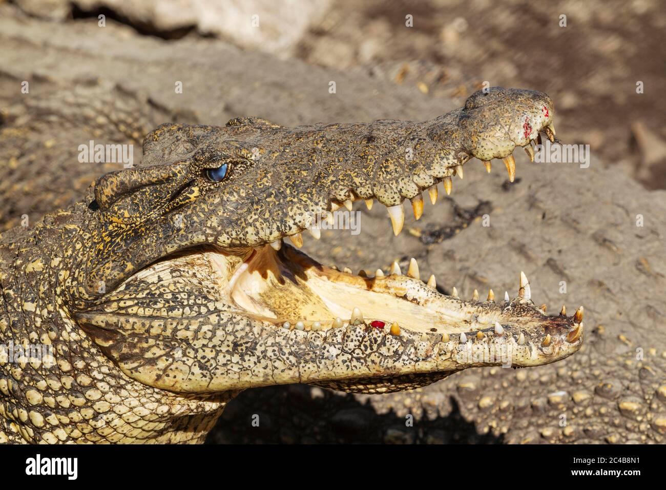 Cuban crocodile (Crocodylus rhombifer), critically endangered, captive at a crocodile-breeding farm, Zapata Peninsula, Cuba Stock Photo