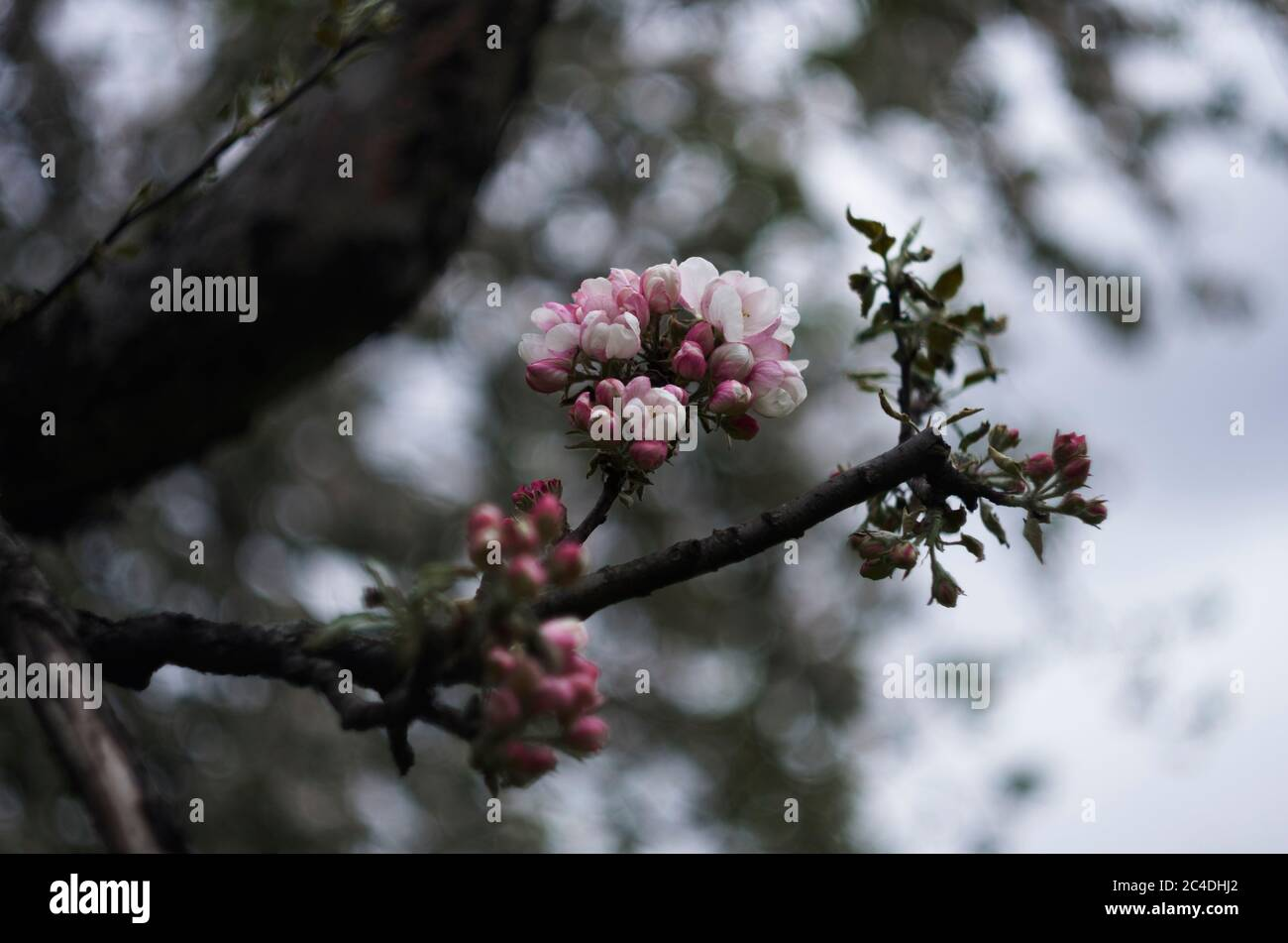 Branch of the flowering apple tree in the cloudy day, june Sainy-Petersburg, park, garden, closeup flowers Stock Photo
