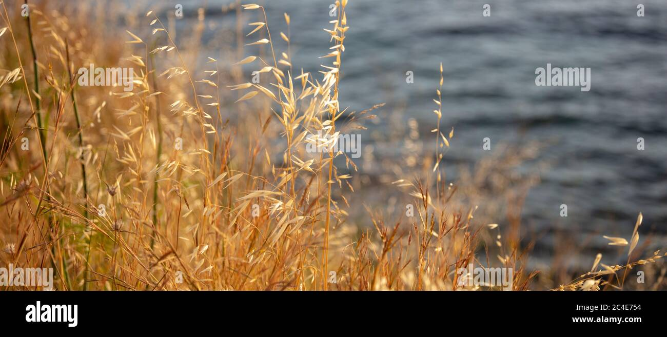 The common wild oat, the avena fatua, considered as grass. Golden dry plant of poaceae family is a noxious weed used for pasture. Blur sea water backg Stock Photo