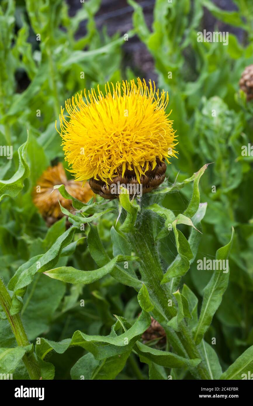 Armenian Basket Flower High Resolution Stock Photography And Images Alamy