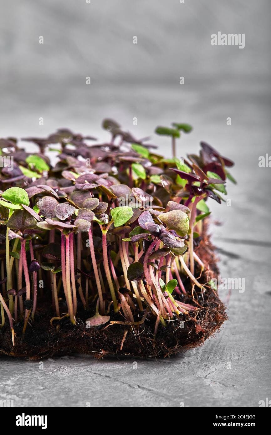 Red cabbage, fresh sprouts and young leaves front view over gray. Vegetable and microgreen. Also purple cabbage, red or blue kraut. Macro photo Stock Photo