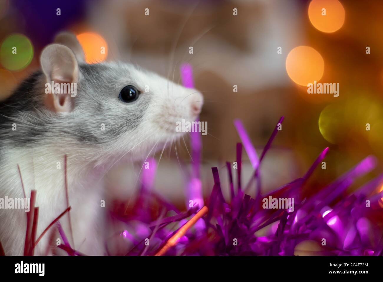 A close-up of a rat peeking out of its hiding place, a symbol of the 2020 Concept.Chinese horoscope. Stock Photo