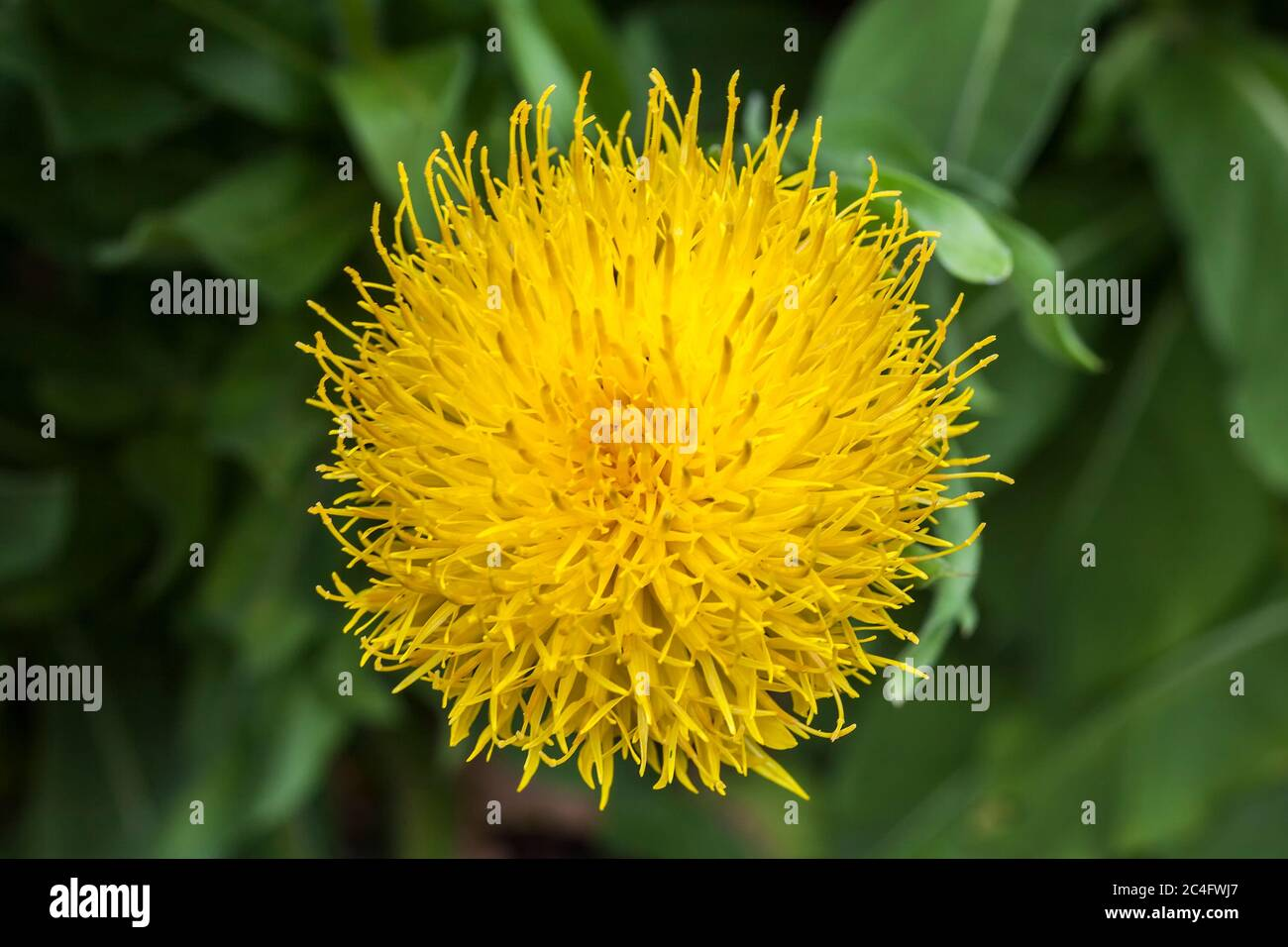 Thistle Like Flower High Resolution Stock Photography And Images Alamy