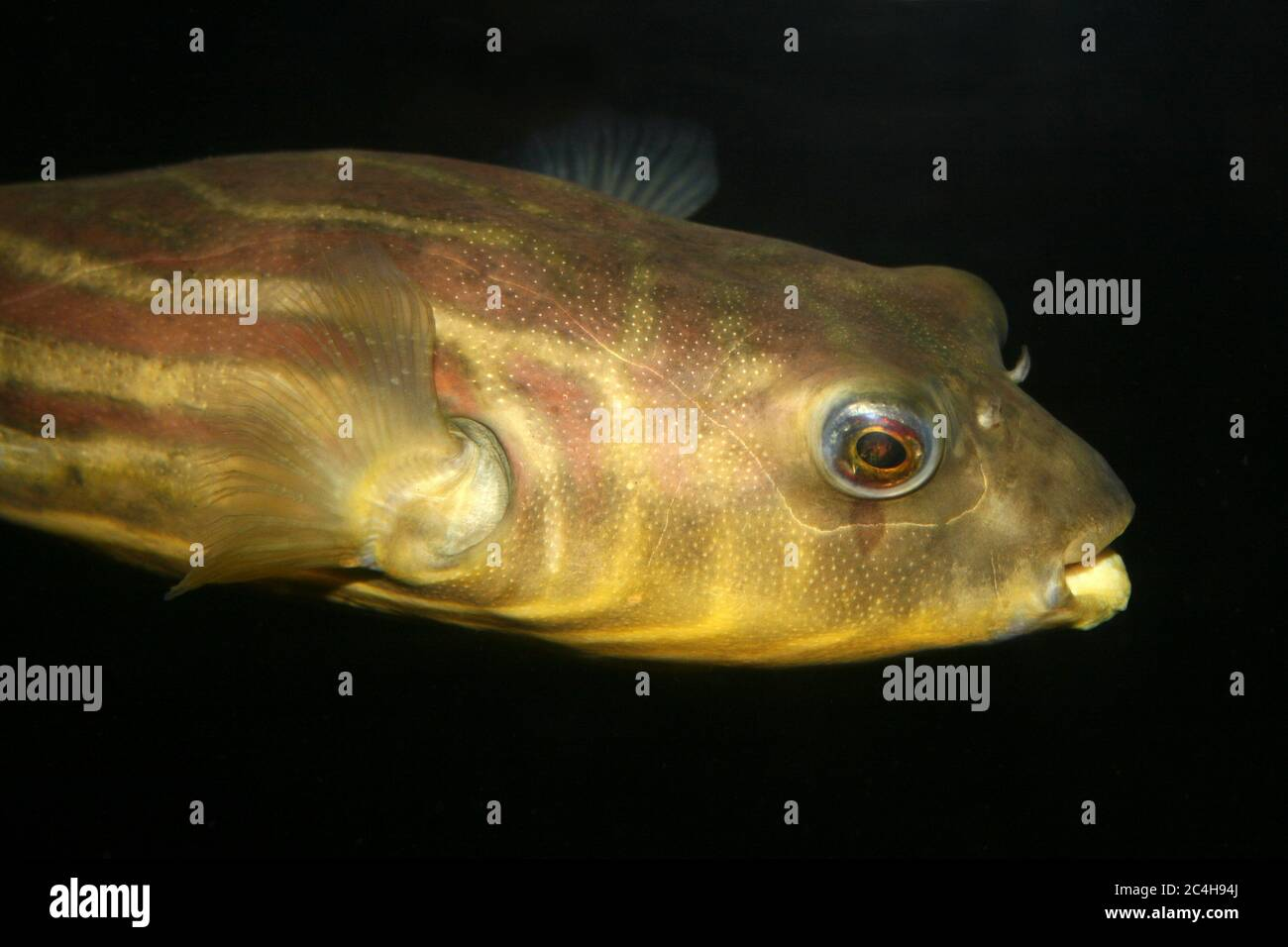 Nile Puffer - Tetraodon lineatus Stock Photo
