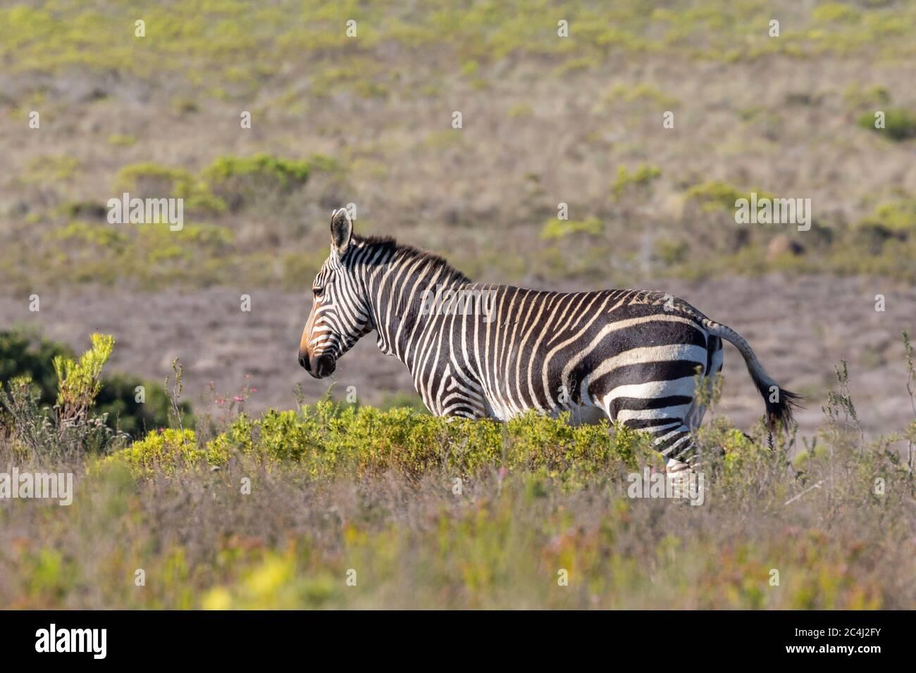Cape Mountain Zebra (Equus zebra zebra) in fynbos, Bontebok National Park, Swellendam, Western Cape South Africa. IUCN Vulnerable species Stock Photo