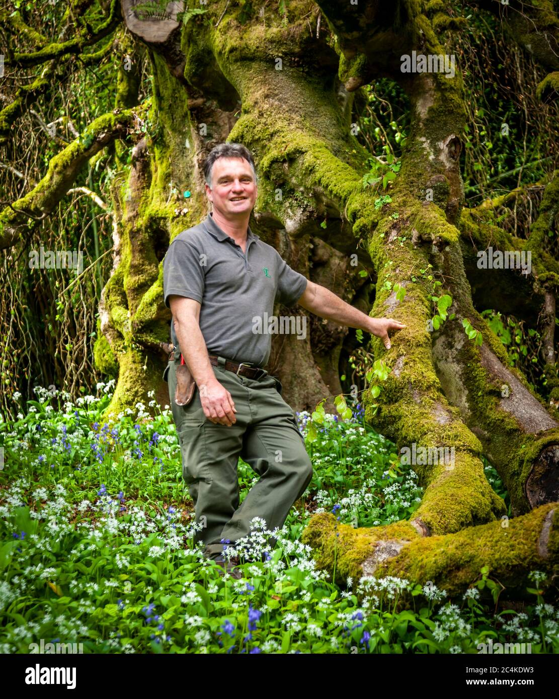 Endsleigh Hotel in West Devon, England. Head gardener Ben Roscombe-King at his favorite tree, a weeping birch that is over 200 years old. She has actually passed her maximum age and the gardeners have to support some of her huge branches Stock Photo
