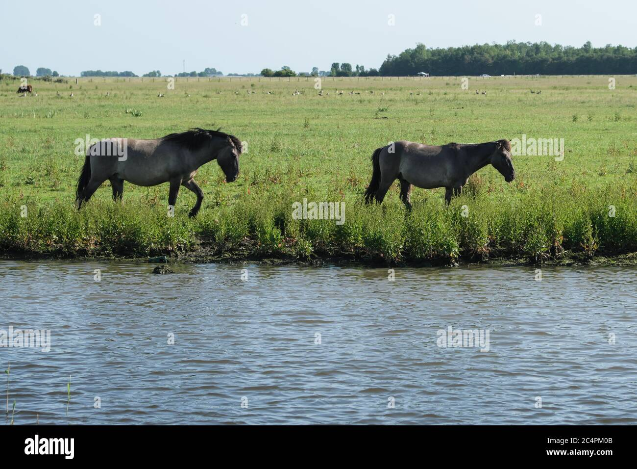 Europe Netherland - Horses on the shore of a canal in Holland Stock Photo