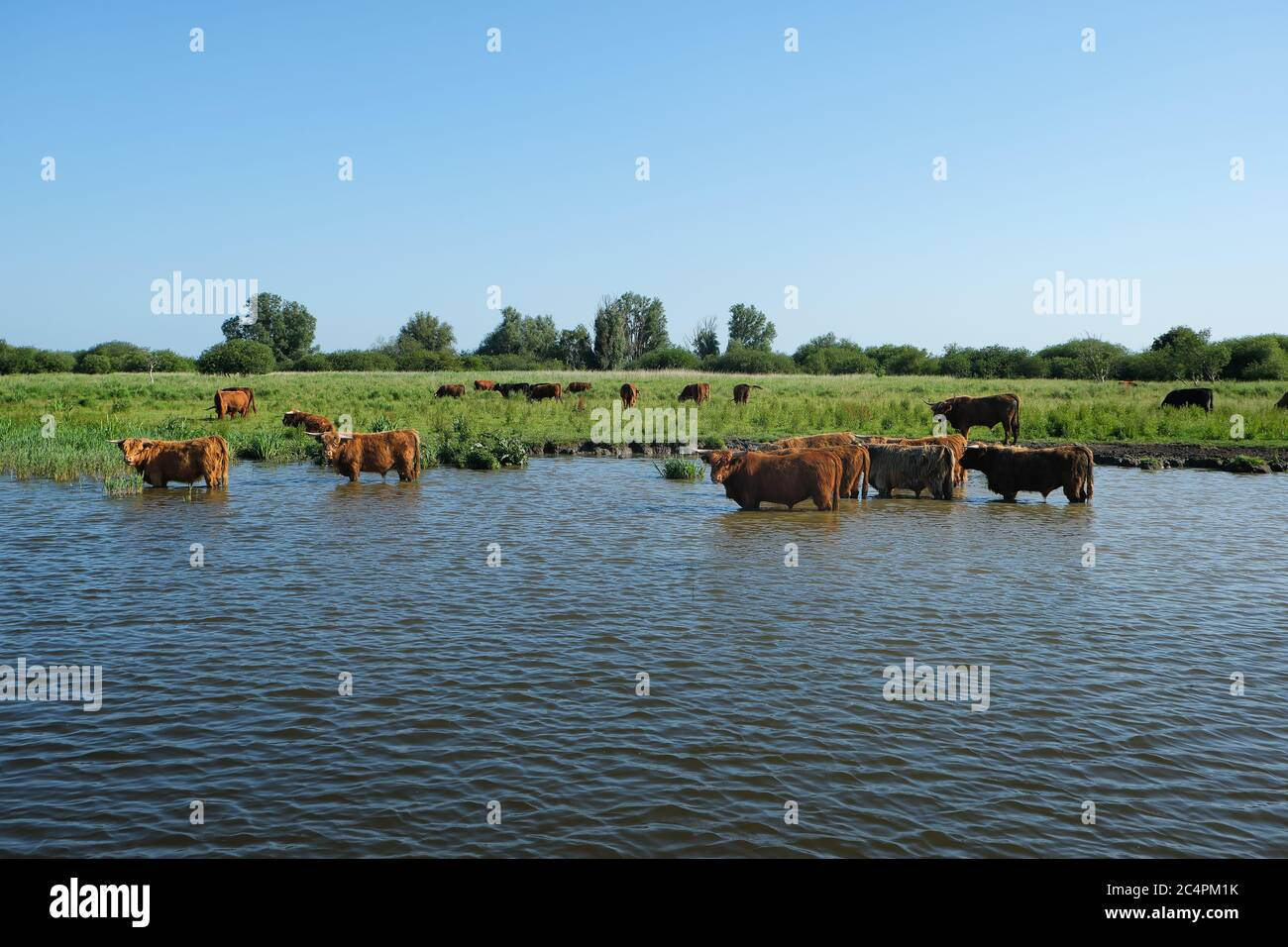 Europe, Netherland, Beef stand in the canal and cool down Stock Photo