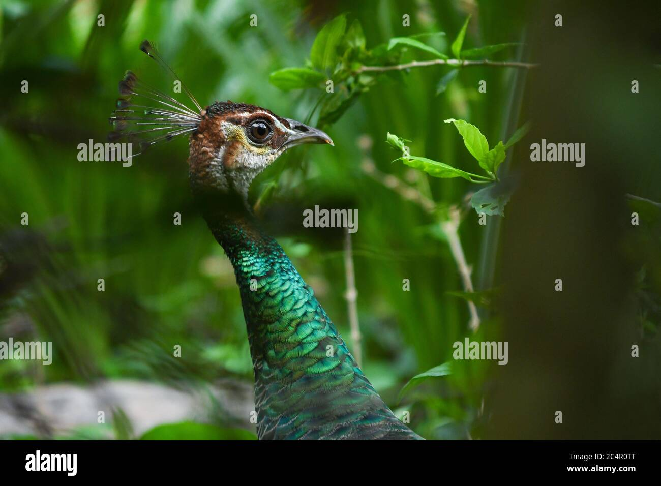 Indian peacock close up. peacock with beautiful green color textured neck. beautiful wildlife background Stock Photo