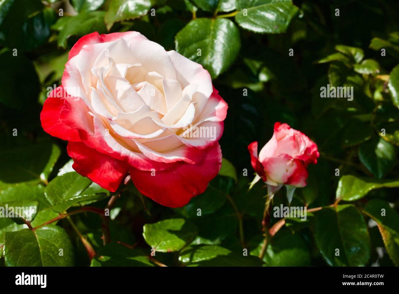 Standard Rose - Nostalgia (Tanieglat) Stock Photo