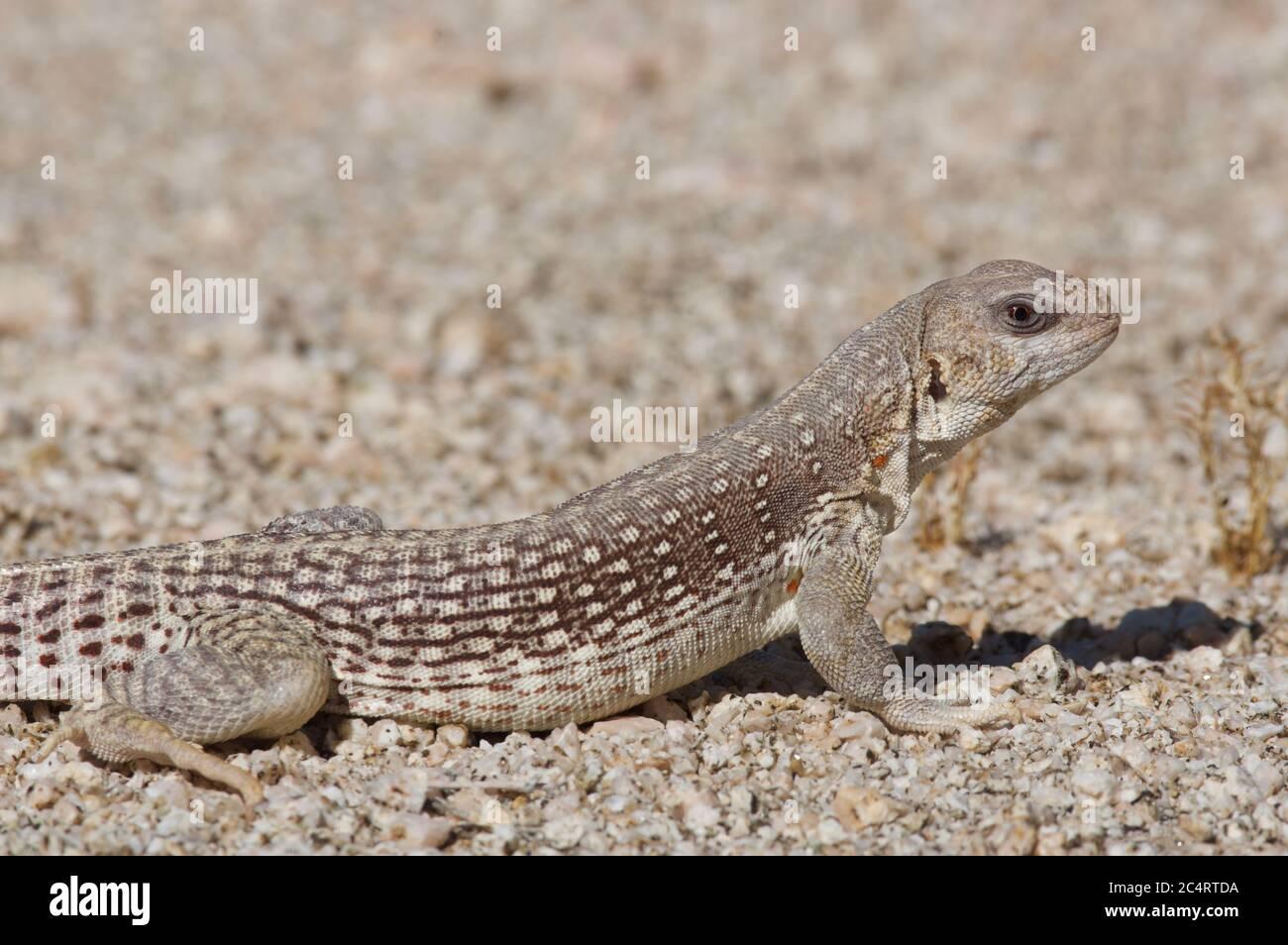 An adult Northern Desert Iguana (Dipsosaurus dorsalis dorsalis) in the Mojave Desert in California Stock Photo
