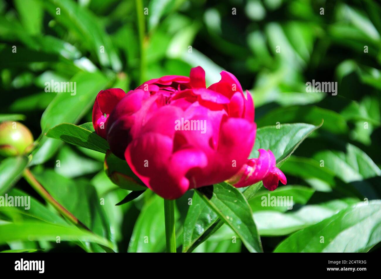Brightly scarlet unopened peony bud on a branch in the garden on a sunny day. Close-up. Stock Photo