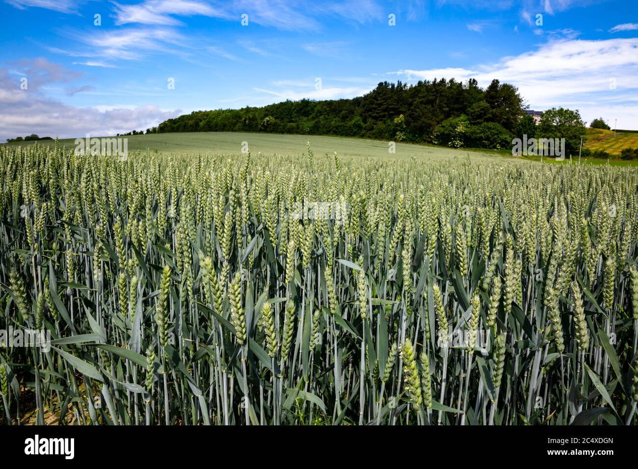 Ripening crop of wheat growing in a field, early Summer, Britain. Stock Photo